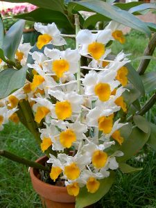 Dendrobium thyrsoflorum with huge pendulous spikes of colorful two-tone flowers on medium-size plants