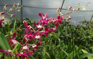 Dendrobium Hawaiian Punch produces long stems of long-lasting flowers twice a year.