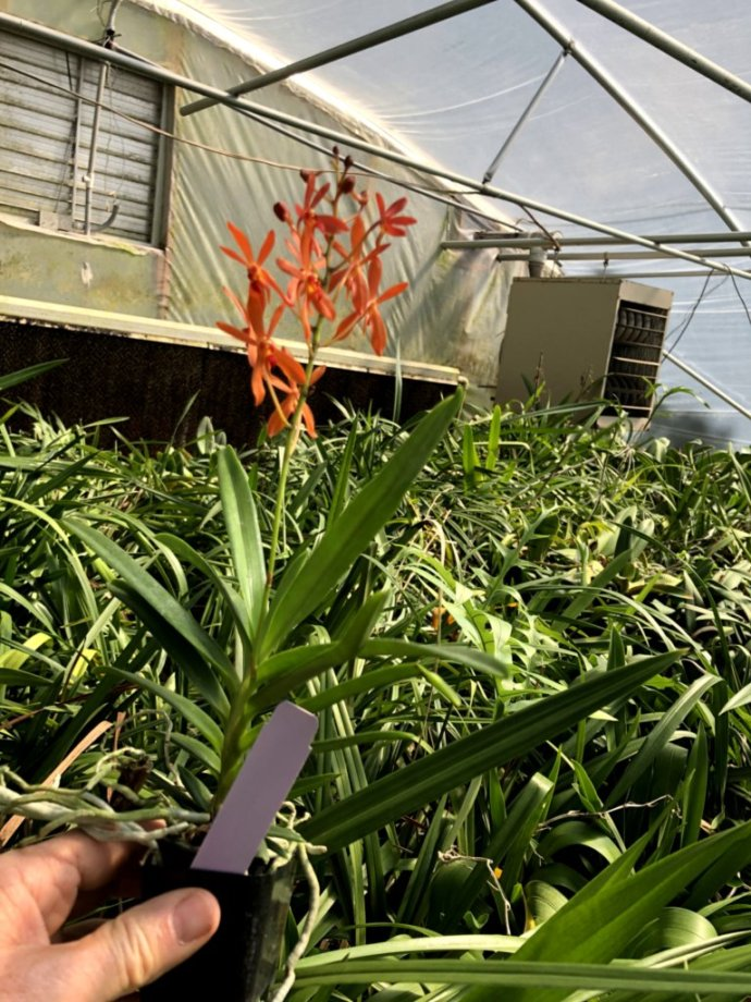 Rntda Sunrise plant